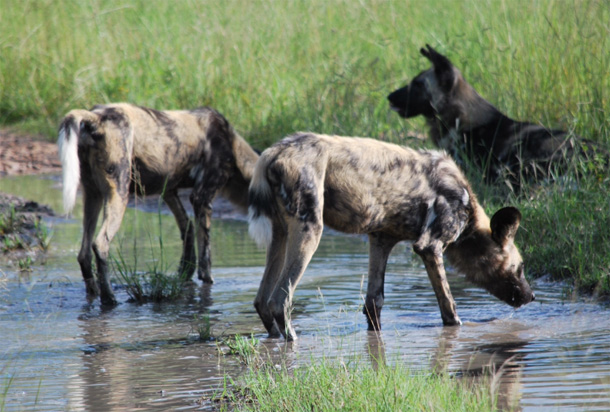 Wild dogs at play