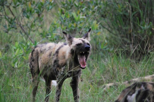 Wild dogs on safari