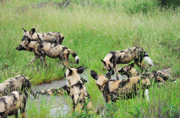Pack of wild dogs at play again