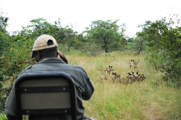 Wild Dog on a Game Drive