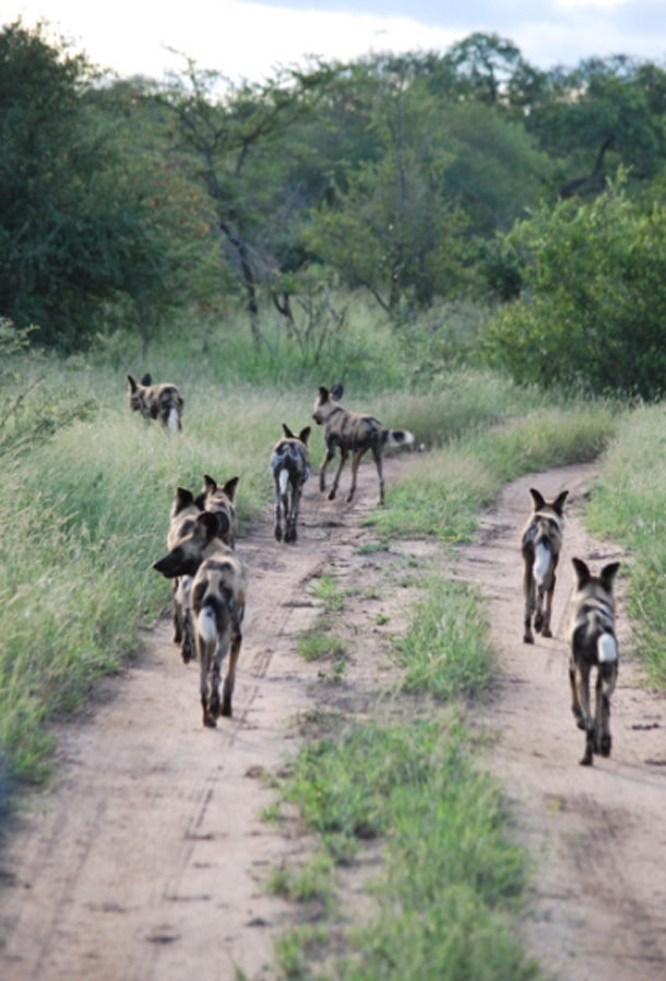 Wild dogs walking down the road