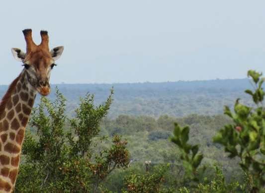 Giraffe at nDzuti