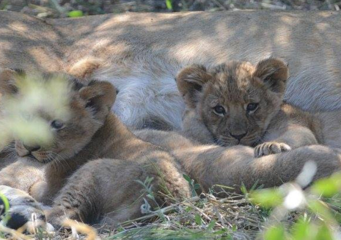 Lion Cubs in Kalahari, hiding in the thicket