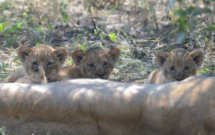 Lion cubs and mother