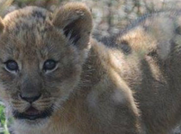 A pregnant lioness is seen striving against the harsh semi-arid desert conditions trying to find a potential den site for her unborn cubs. She eventually finds a safe haven in a thicket of vegetation just 4 km outside of the Haina Kalahari Lodge. A few weeks later, she gives birth to 4 lion cubs. Needless […]