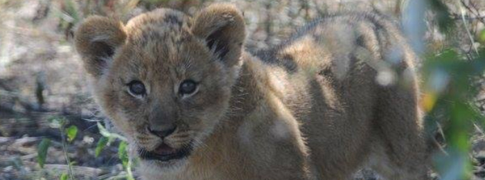 Kalahari Lion Cub