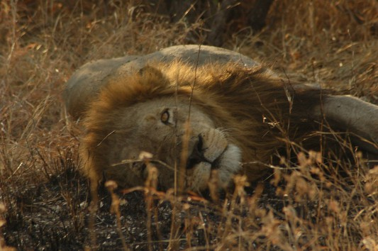One of the Trilogy resting after feasting on a dead giraffe.