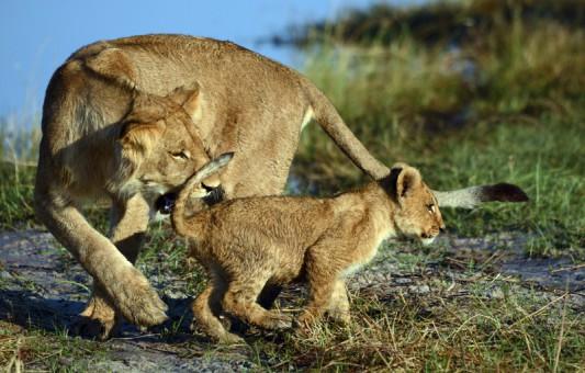 campsavuti-lions