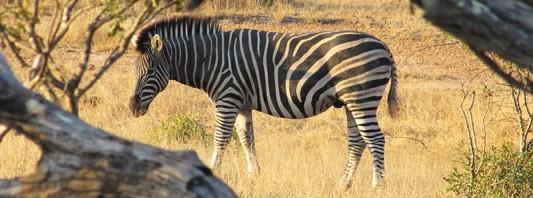 Zebra grazing in Klaserie