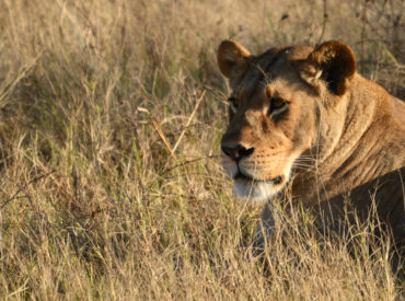 The long, green grass of the well-watered Okavango River Panhandle is ideal for hiding the slinking silhouette of a lioness huntress out on the prowl for her dinner. She drops low into the grass and tries to disguise her form and get as close as possible before charging out of the bush, targeting her prey. […]