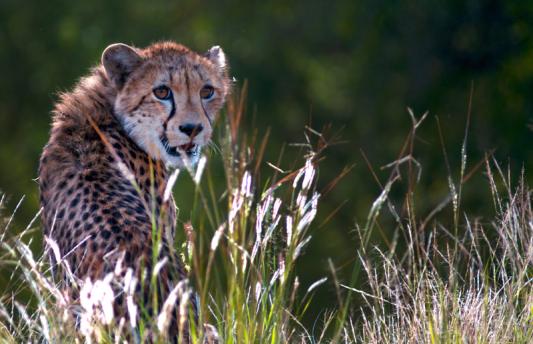 cheetah-kevin-kruger