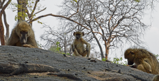 baboon-chloe-linyanti