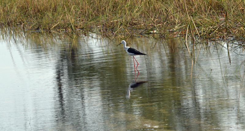 Black-winged stilt - seen often in and around the water in the shallows of the Delta.
