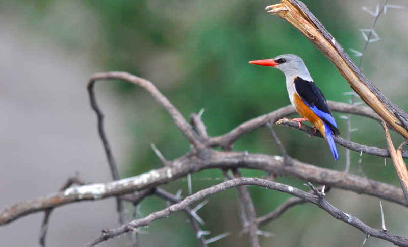 Grey-headed kingfisher, often seen perching on branches along the Delta riverbanks. Image by Kevin MacLaughlin.