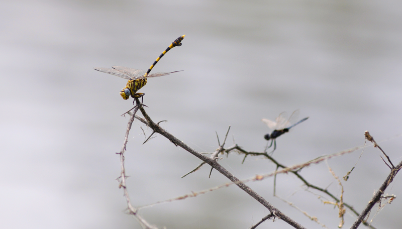 Dragonflies pausing for a moment. Image by Kevin MacLaughlin.