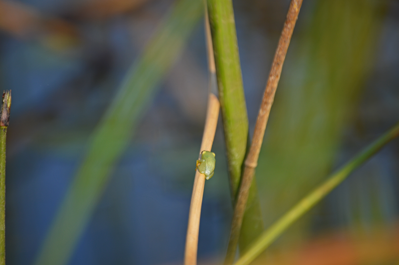 A well camouflaged, tiny frog spotted out on a mokoro excursion.