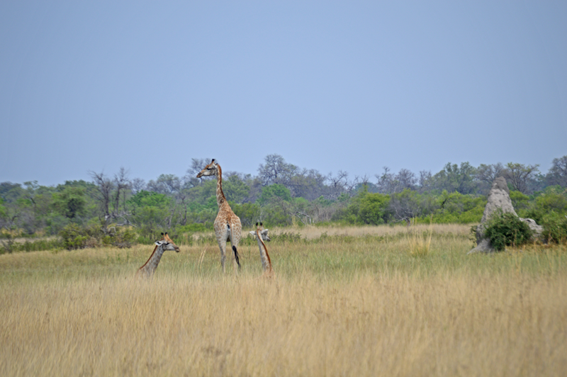 The drier parts of the Delta look a far cry from the wetland we know, but giraffes love the tall trees and then camouflaging grasses.