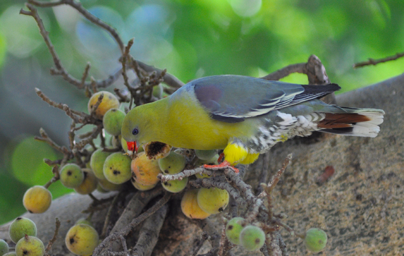 An African green pigeon enjoying the fruit of a fig tree. Image by Kevin MacLaughlin.