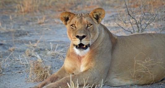 lioness-haina-chloe