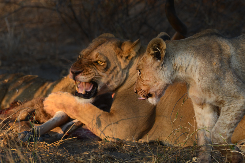 lioness growls at one of the cubs as she protects her share of the ...