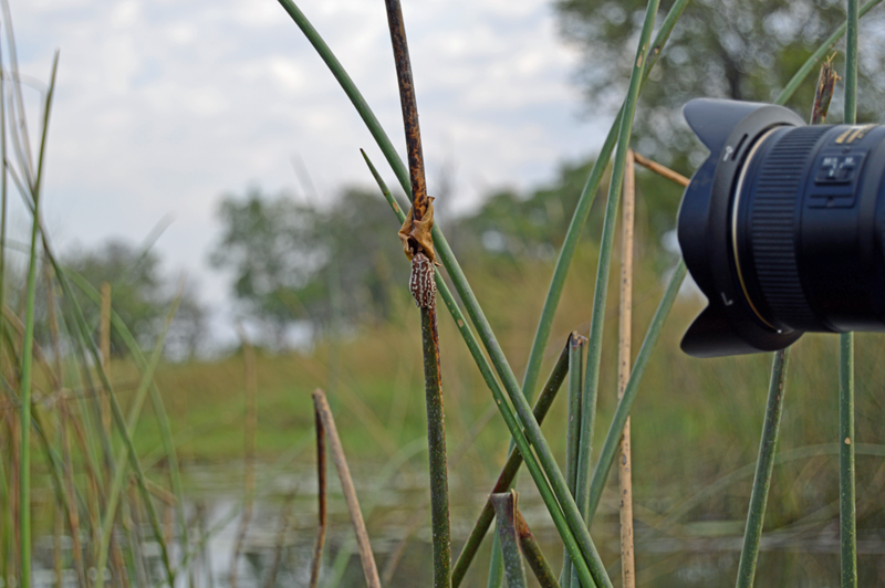 Capturing a tiny frog clinging to a reed in the delta. Up close and personal with the wild!