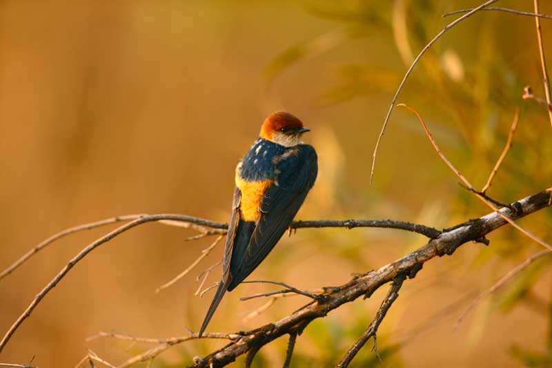greaterstriped-swallow-savuti-kevinmac