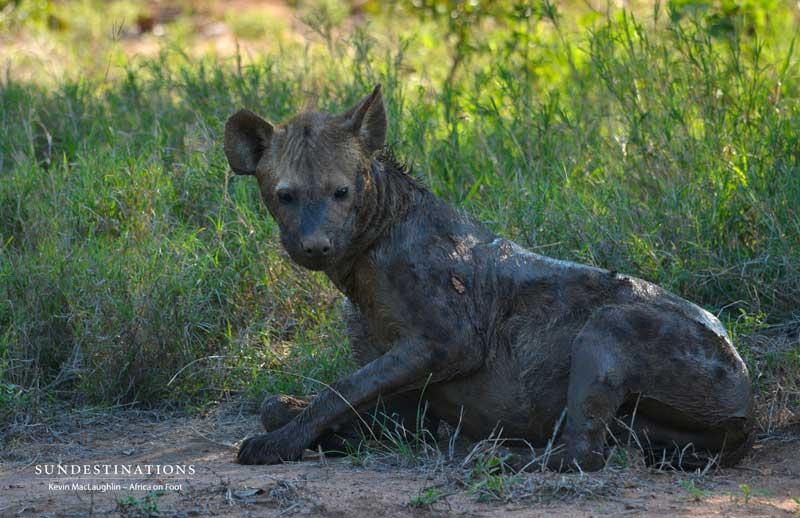 hyena1-aof-kevinmac