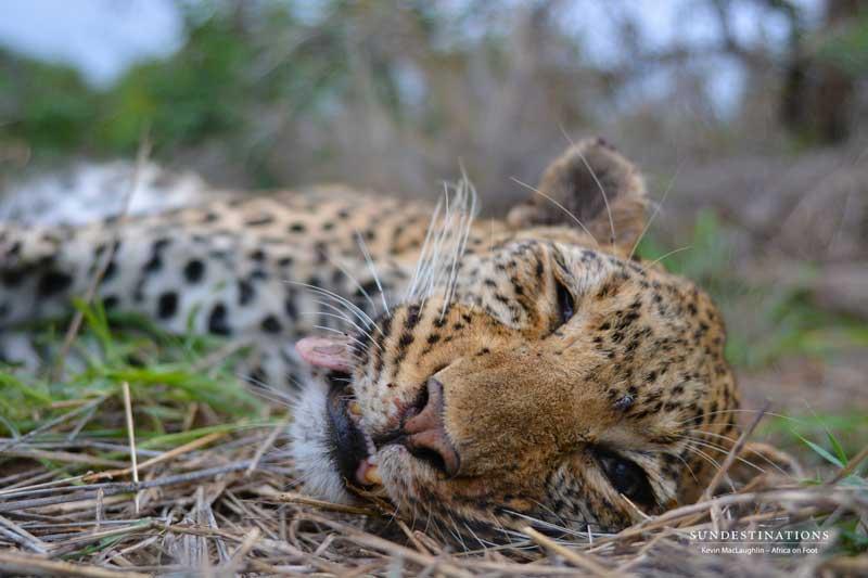 [Image: leopard-closeup-2.jpg]