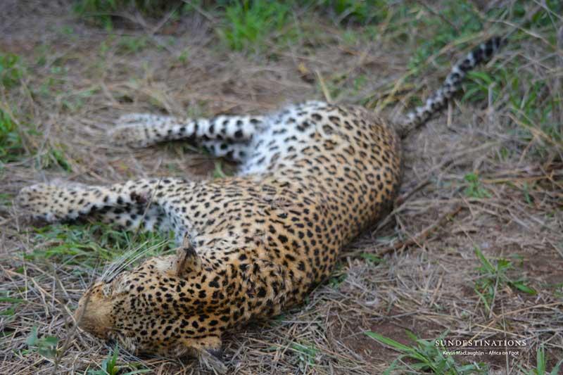 [Image: leopard-low-1.jpg]