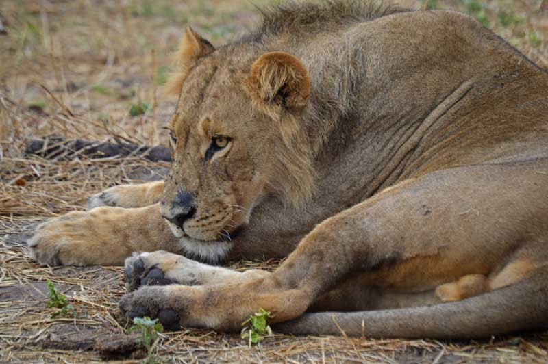 A young male lion in the Savuti. Image by Chloe Cooper.