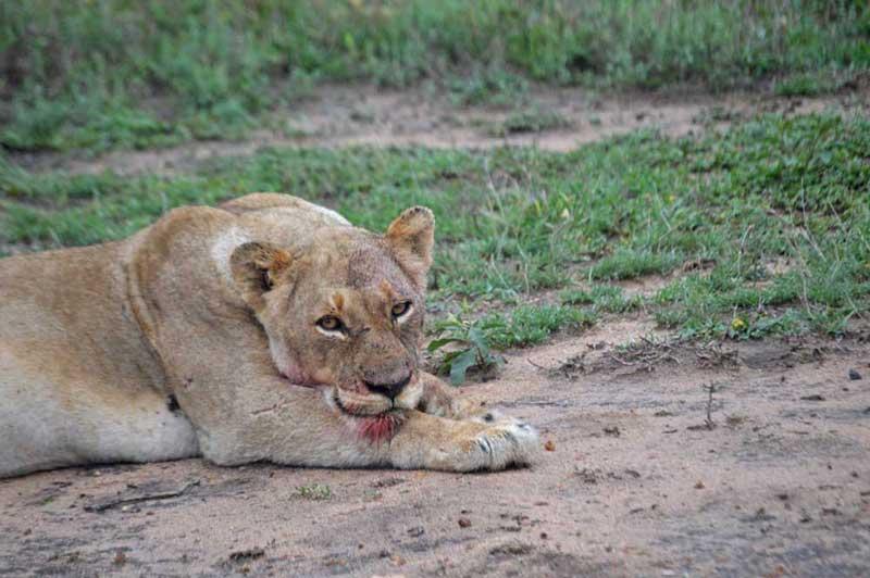 [Image: lioness-aof-buffkill.jpg]