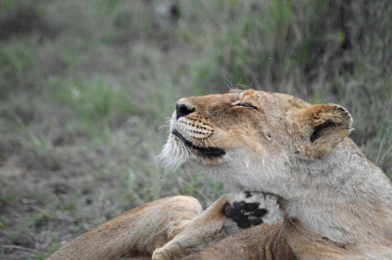 [Image: lioness-scratch-chloe.jpg]