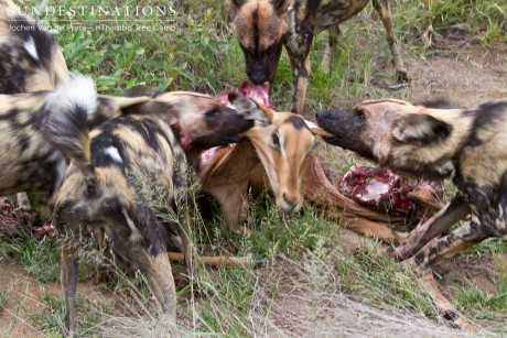 Wild dog kill in the Klaserie