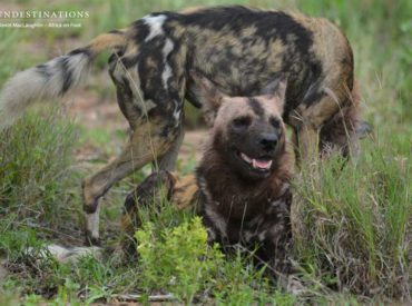 How privileged are we that the words 'wild dog' and 'mania' can be used in a sentence to describe a Kruger safari? The fact is that these incredibly specialised predators are highly endangered with less than 6000 dogs estimated to remain in the wild. After the Ethiopian wolf, these gorgeous and dynamic painted dogs are […]