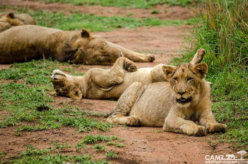 Styx Pride cubs having an afternoon siesta at Umkumbe Safari Lodge.