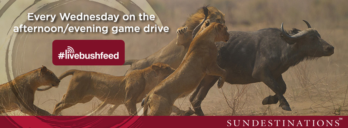 #livebushfeed: Join us for a real time safari on Wednesdays