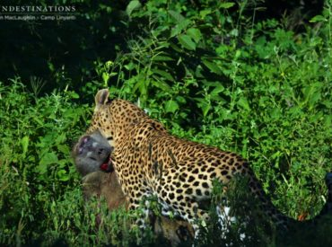 The rainy summer season in Botswana has left the Linyanti in a state of lush, green chaos. Right in the north of Chobe National Park on the border of the Caprivi Strip, Camp Linyanti is a haven for elephants, hippos, birds of all sorts, and the secretive habits of the leopard. A visit to this […]