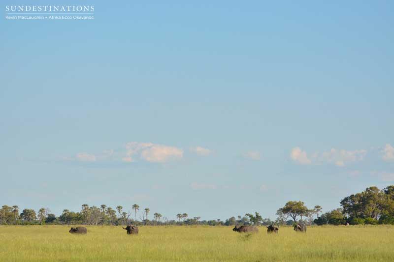 buffalo-afrikaecco-kevin
