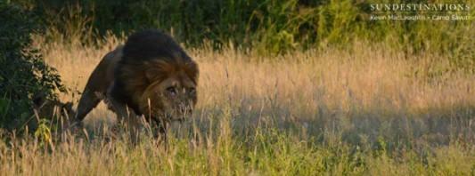 lion-charge-savuti-kevin-700x260