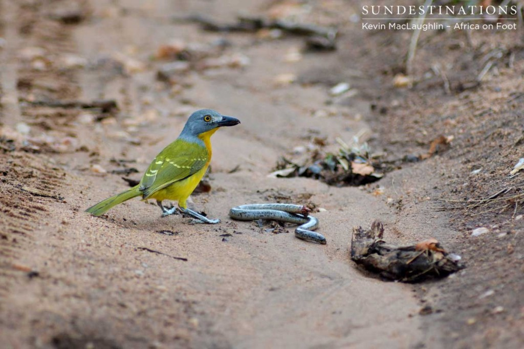 Grey-headed bush shrike is also known as the ghost bird