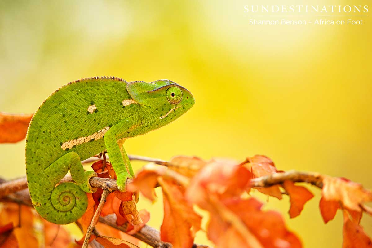 Incredible colour contrasts between the autumn leaves and the green chameleon