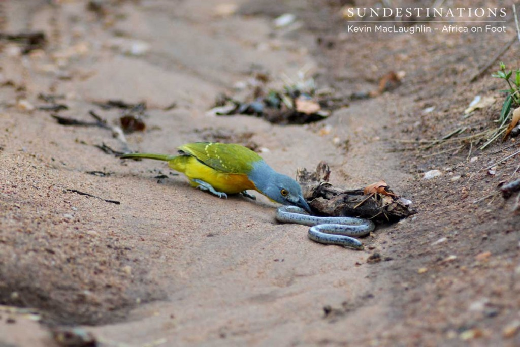 The bush shrike is a ferocious hunter, here seen preying on a snake
