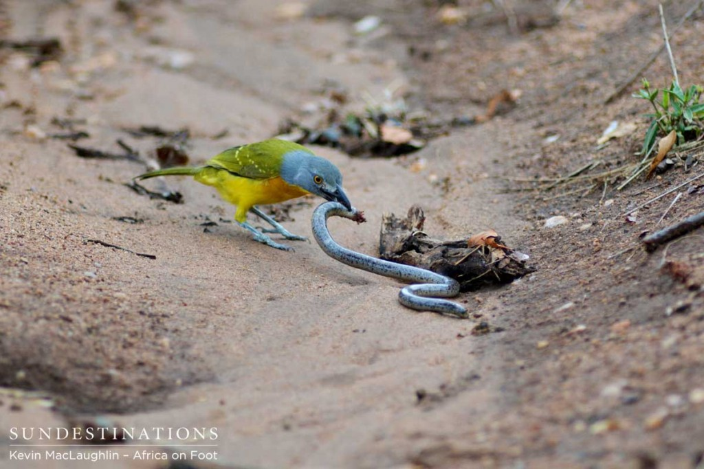 The bush shrike pecks and stabs at the snake