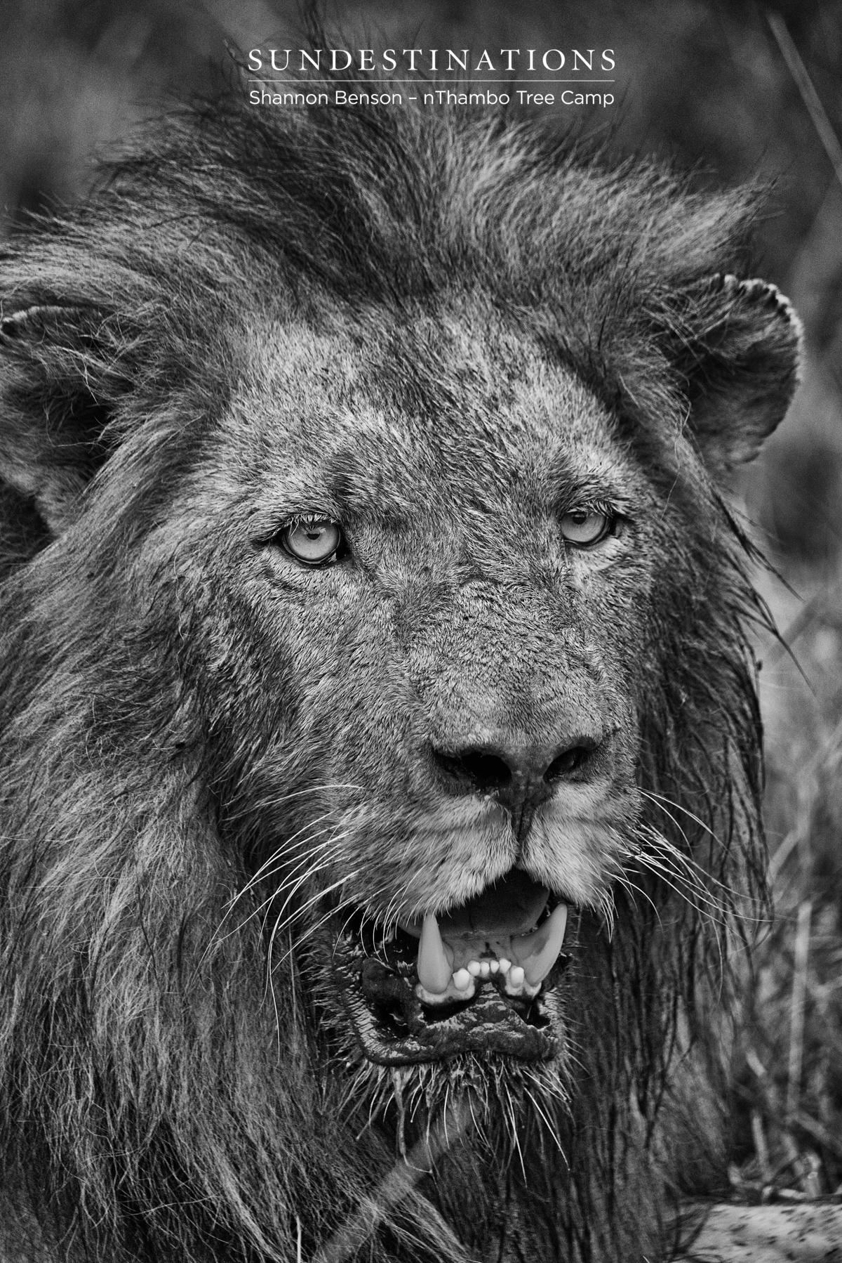 Week in Pics: Lions of the Klaserie