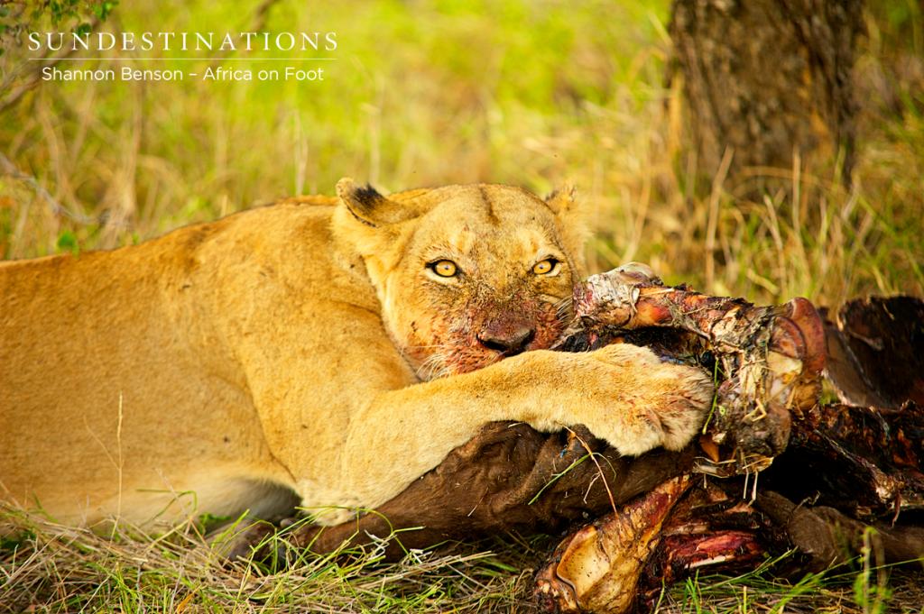 Ross lioness feasting on a buffalo kill