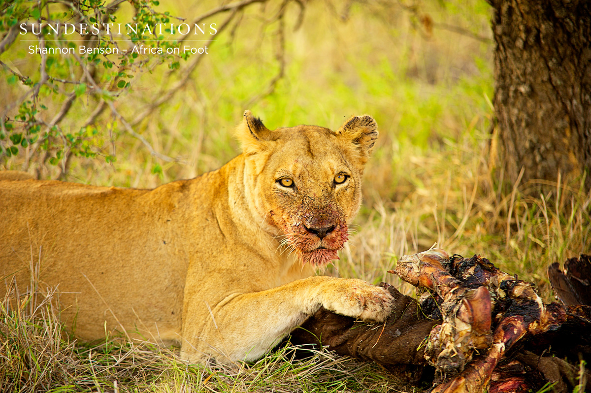 Hungry Ross Pride Lionesses Make ANOTHER Kill