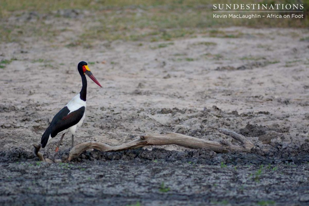 Saddle-billed stork satisfied after its catfish meal