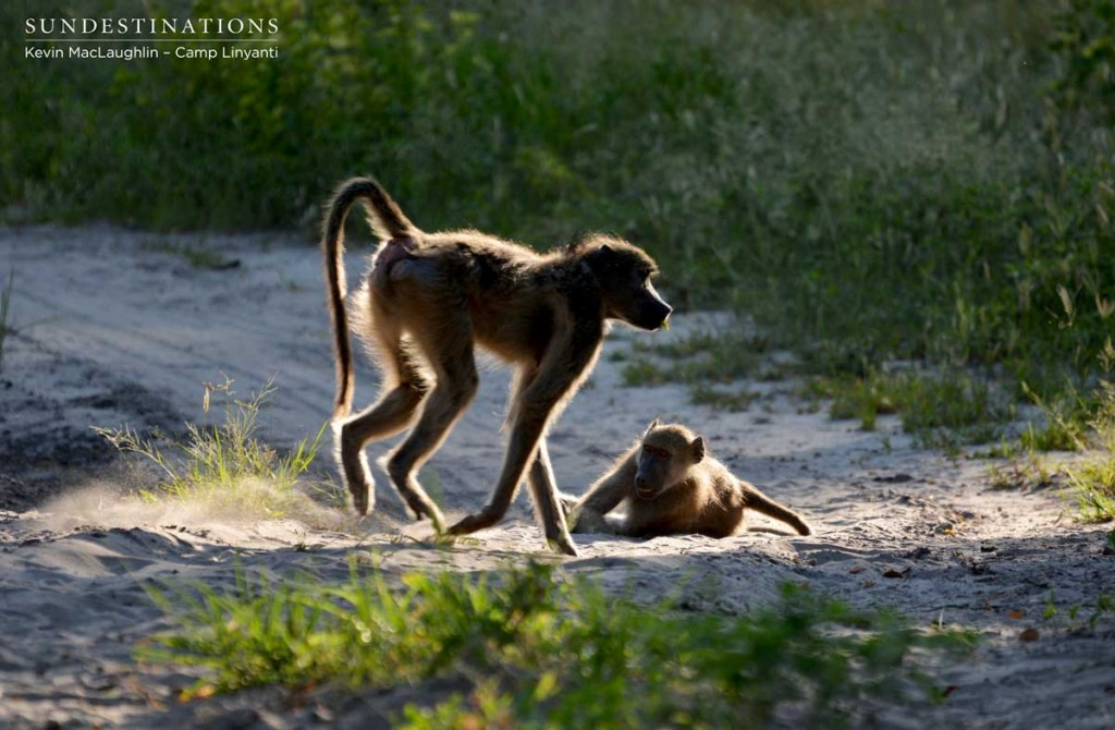 Baboons playing at Camp Linyanti