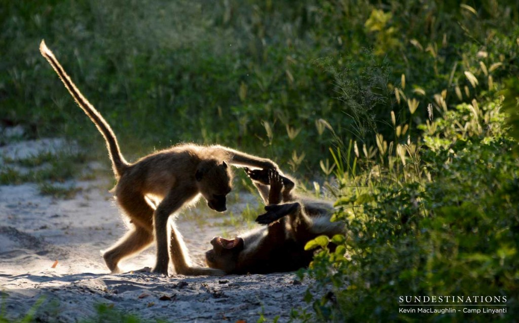 Young baboons play energetically