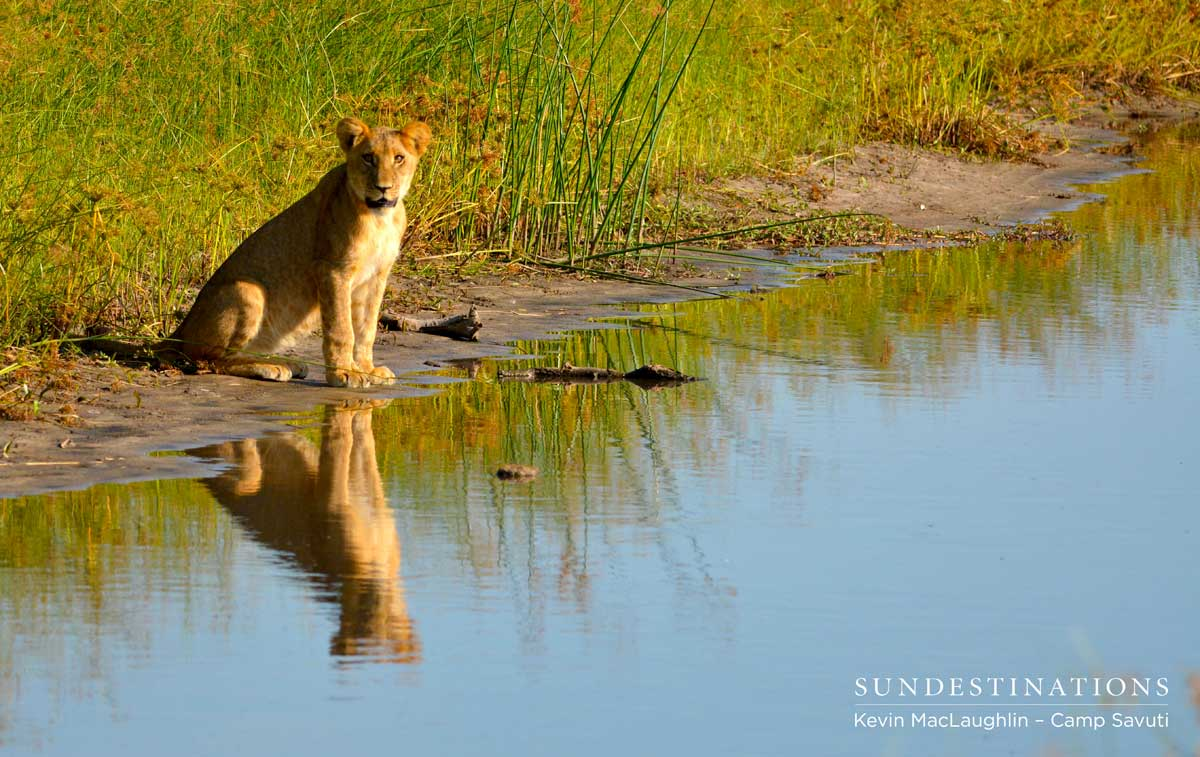 One of the first cubs to brave the open area and drink from the channel